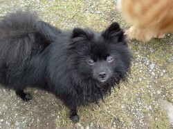 Barry says hello Rosie! You`re looking so much more better! ~From Barry, the Pom rescud from a Dog hoarder at 4 months old.~